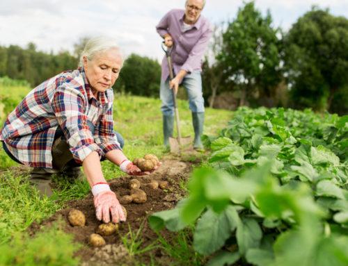 Aardappelen planten